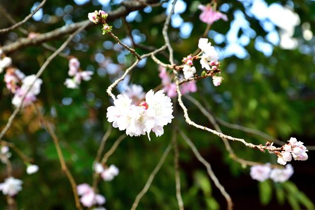 2018_1202_124858 平野神社の十月桜