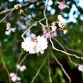 写真: 2018_1202_124858 平野神社の十月桜