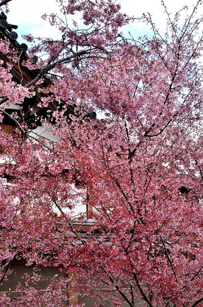 2019_0324_134003 長徳寺のオカメ桜