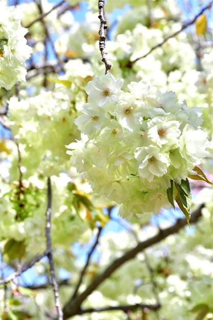 2017_0416_135338 造幣局の黄桜