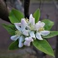 写真: 姫りんごの花