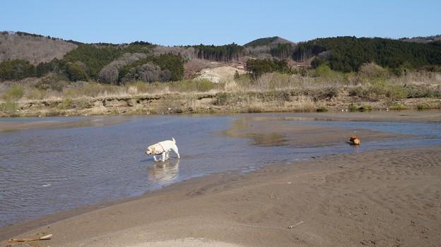 河原のわんこ