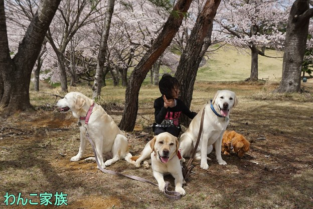 桜とわんこ家族
