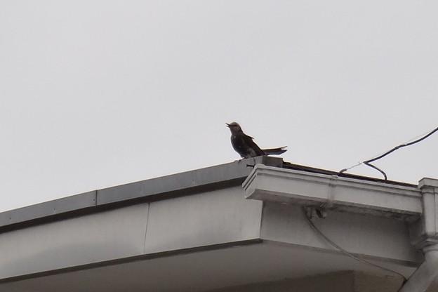 犯人(鳥)