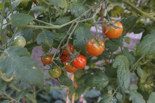 朝のミニトマト
