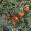 Photos: 朝のミニトマト