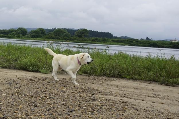 川原で放牧