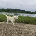 Photos: 川原で放牧