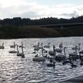 Photos: 白鳥のいる公園