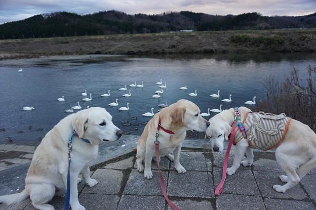 白鳥のいる公園