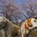 Photos: 三分咲き