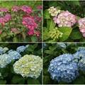 Photos: 花のお山のアジサイ