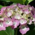 Photos: 紫陽花まつり