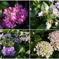 Photos: 庭の紫陽花