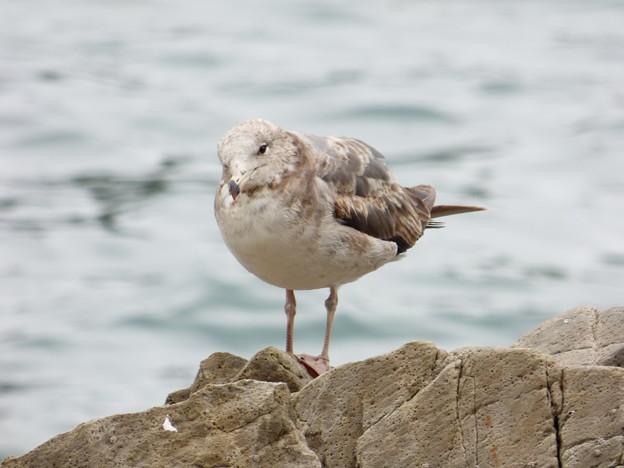 ウミネコ幼鳥