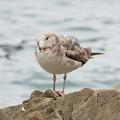 写真: ウミネコ幼鳥