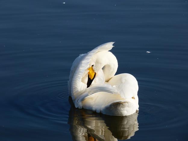 白鳥・毛づくろい