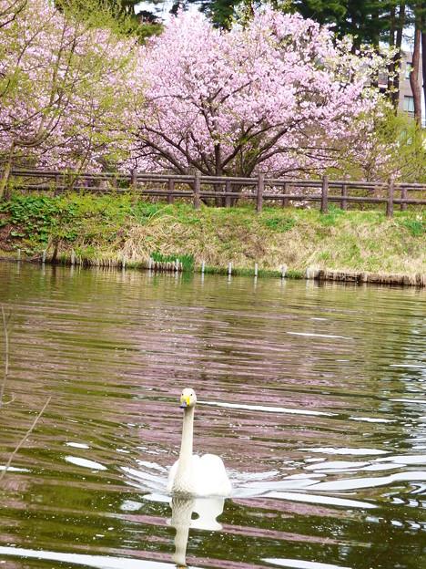 Photos: オオハクチョウ、桜2