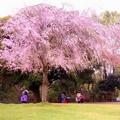 写真: しだれ桜