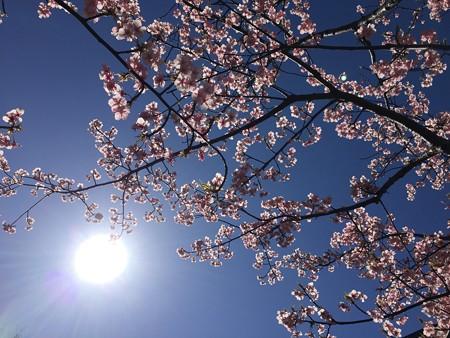 近所の緋寒桜02