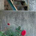 バラと階段