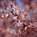 写真: トクさんぽ05 おとめ桜
