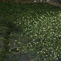 トクさんぽ15 梅花藻(醒ヶ井宿)