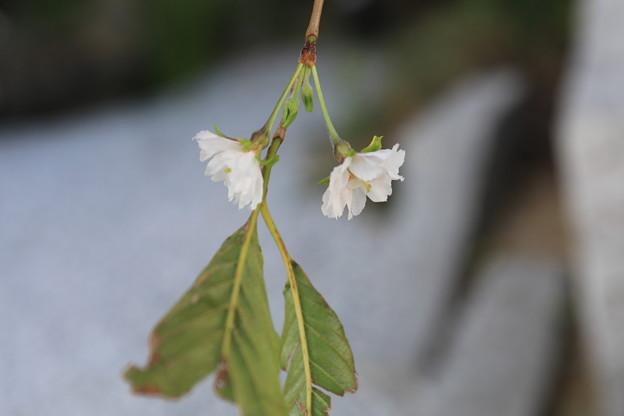写真: トクさんぽ20 さくらが咲いた