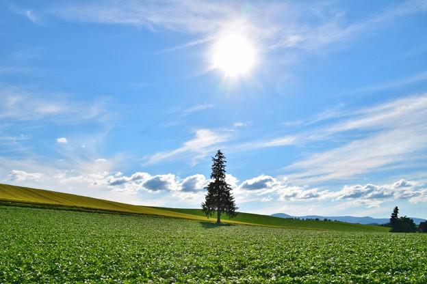 写真: クリスマスツリーの木