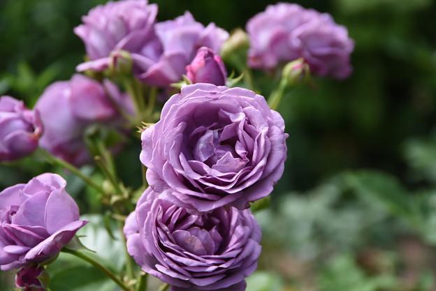 Photos: 薔薇 紫
