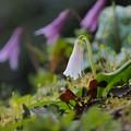 白花カタクリ 1