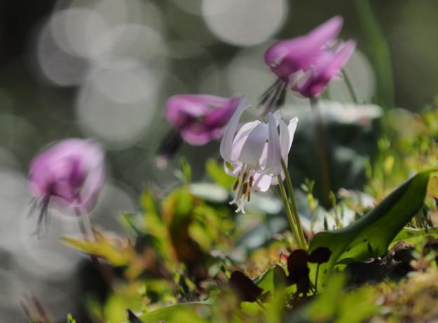 白花カタクリ 3