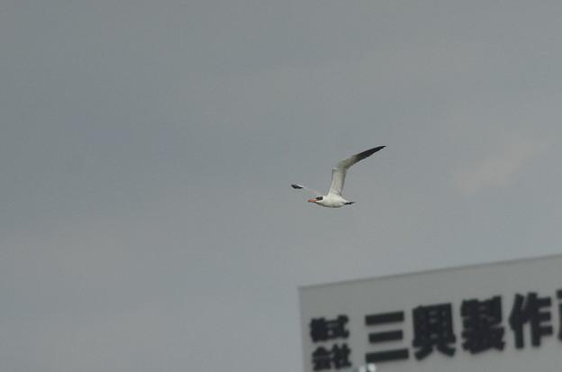 181017オニアジサシp飛翔4