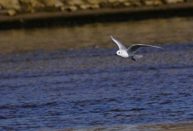 181124ズグロカモメ4羽大和川3