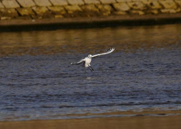 181124ズグロカモメ4羽大和川6