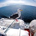 Photos: 北海道之鷗