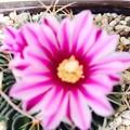 写真: 縮玉の花 俯瞰