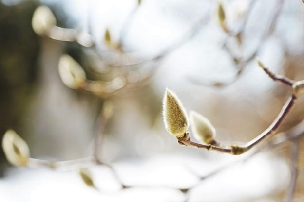 写真: 春を待つ IMG_1022