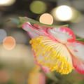 写真: 椿祭りより IMG_2375