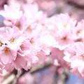 Photos: 枝垂れ桜 IMG_3163
