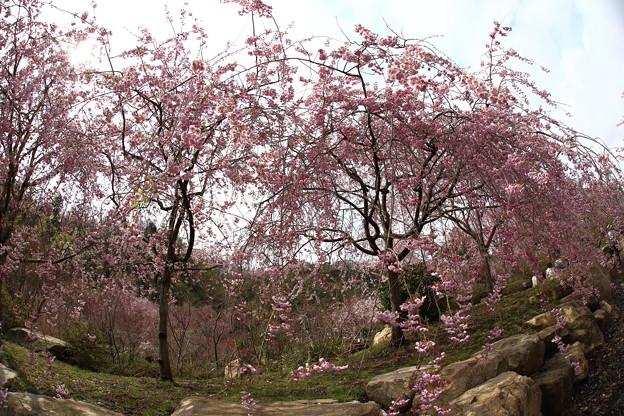 しだれ桜園 IMG_9850