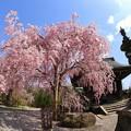 Photos: 聞名寺の枝垂れ桜 IMG_9982