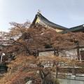 Photos: 春紅葉  IMG_7323.JPG