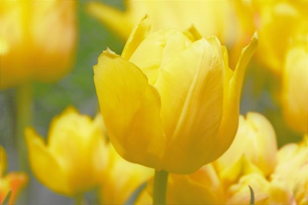 チューリップ(黄色) DSC_6013