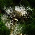 写真: 綿毛(出発の準備) DSC00058 (2)