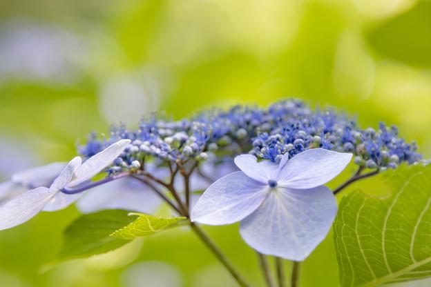 紫陽花#1 IMG_8543