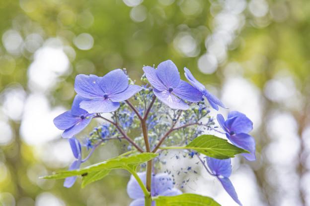 紫陽花#2 IMG_8557