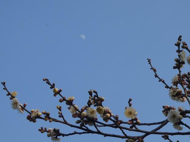 偕楽園内  青空に月と梅