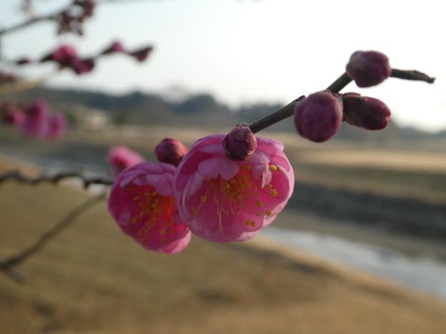 花追橋  筑紫紅