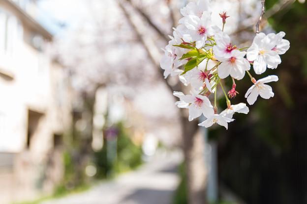 力強く咲く桜